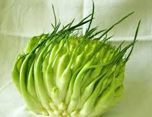 Le puntarelle una tipica verdura della cucina romana dalle ottime virtù nutrizionali.